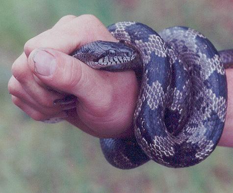 Beauty Rat Snake Research Materials