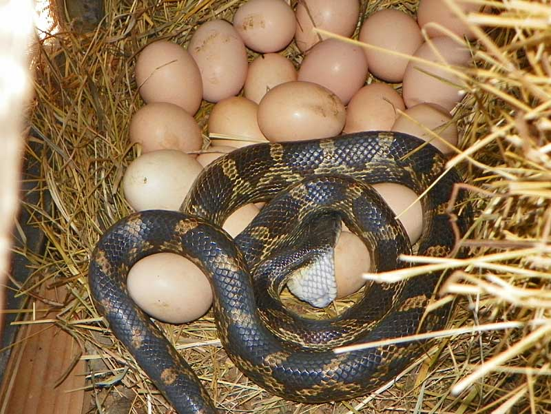 Field Herp Forum • View topic - Death Comes To The Chicken ...